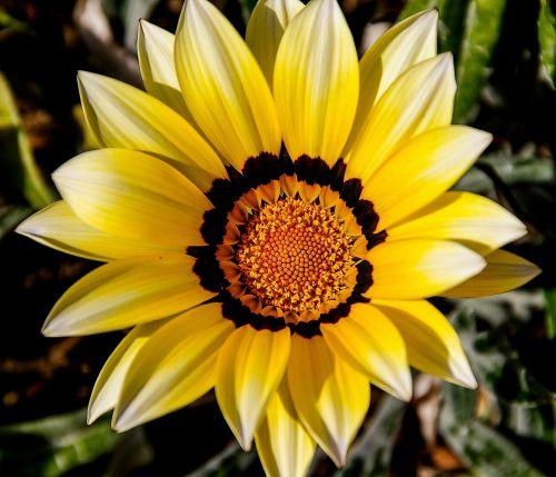 gazania,gėlė,geltona,oranžinė,žiedlapiai,šviesus,asteraceae,sodas