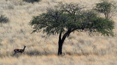 gazelle savannah springbok