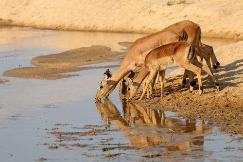 gazelle antelope kudu