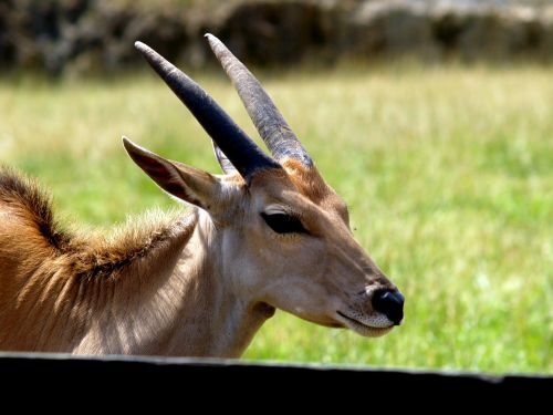 gazelle horns wild animal