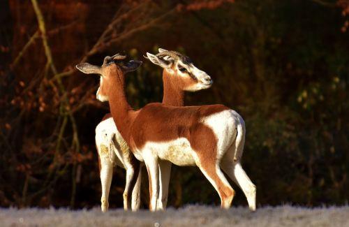 gazelles wild animals pair