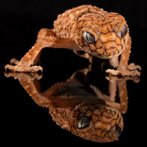 gecko rough knob lizard