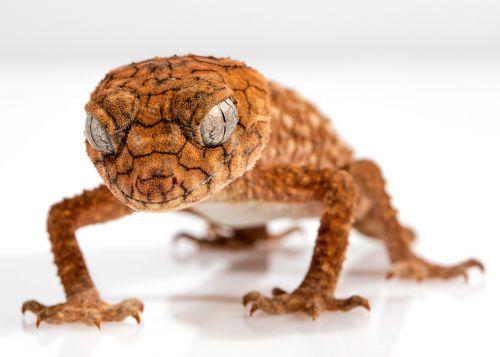 gecko rough knob centralian