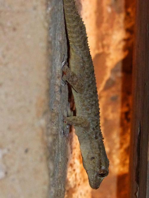 gecko dragon lizard