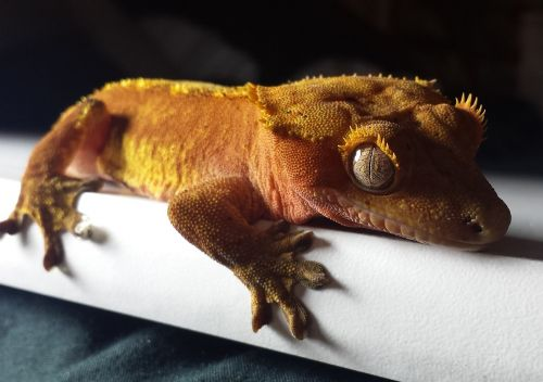 gecko crested red