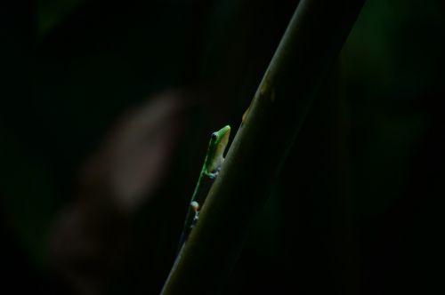 gecko hawaii island of hawaii