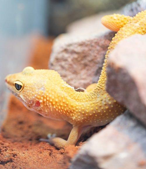 gecko  leopard gecko  flexible