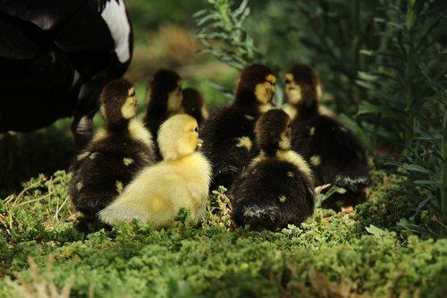 gees  goslings  waterbird