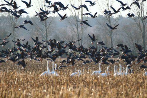 geese whooper swan bird