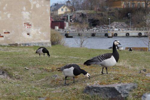 geese canadian goose goose