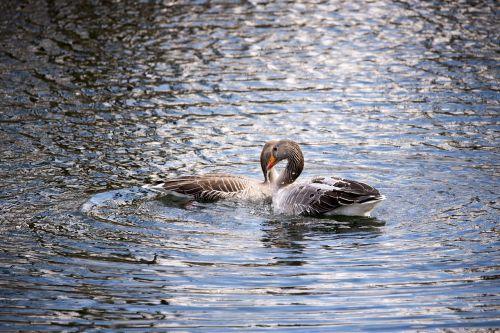 geese water birds fowl