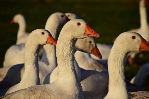 geese geese schaar house geese