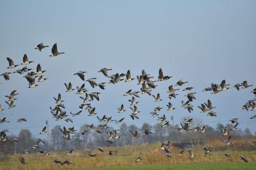 geese fly birds