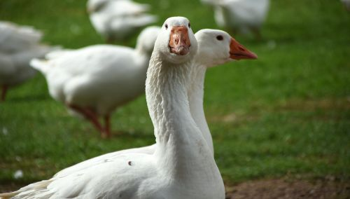 geese white animal