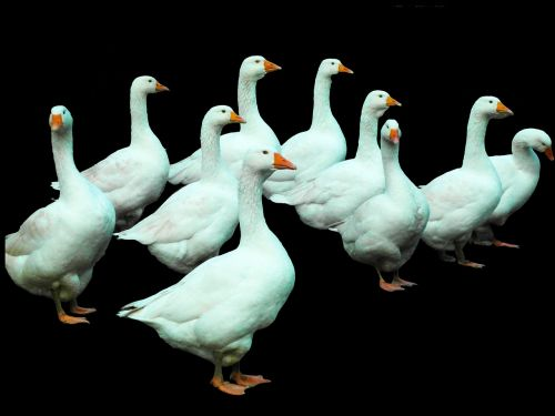 geese poultry white