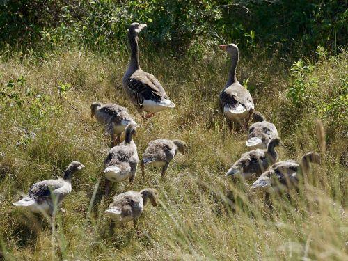 geese grey geese wild geese