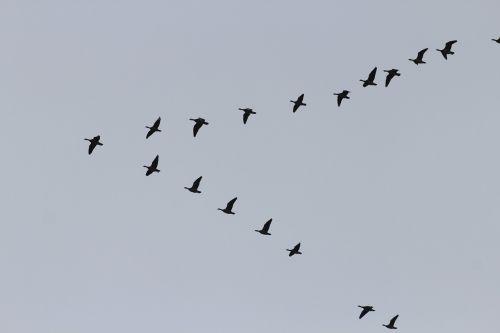 geese migratory birds swarm