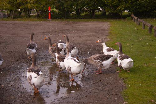 geese pond farm