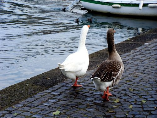 geese couples ferragosto