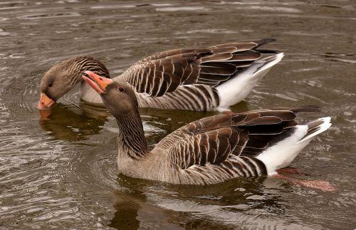 geese waterfowl wild geese