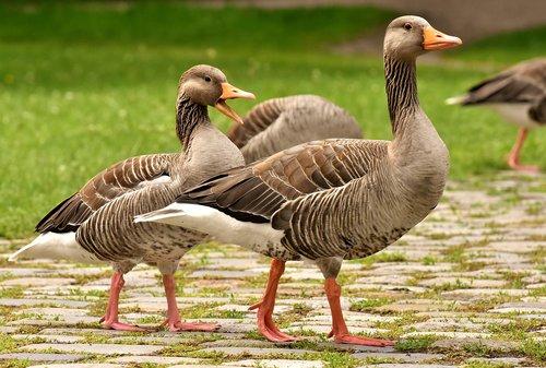 geese  wild geese  waterfowl