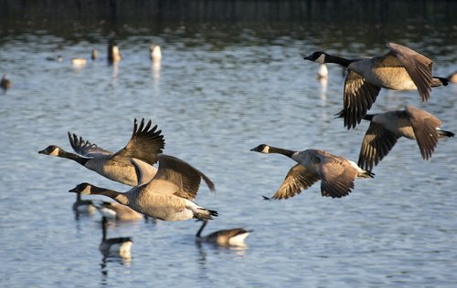 geese  bird  waterfowl