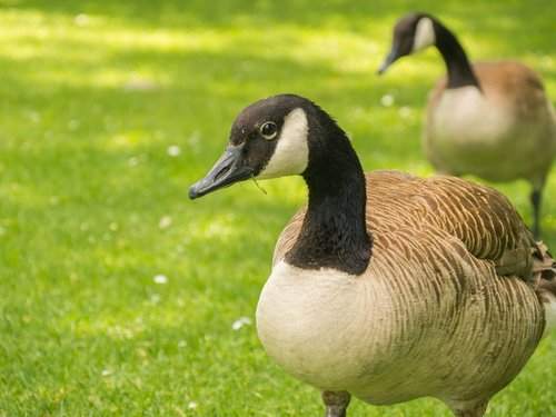 geese  wild geese  water bird