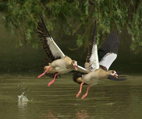 geese animals bill