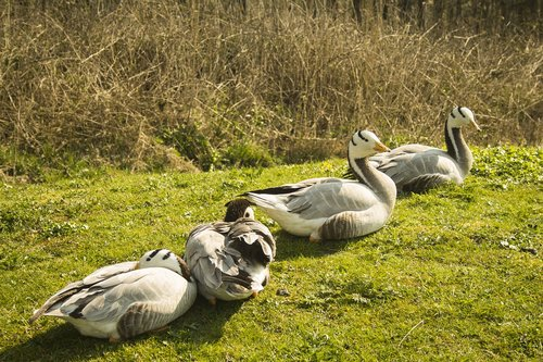 geese  nature  wild geese