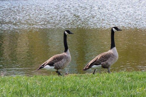 geese  canada geese  birds