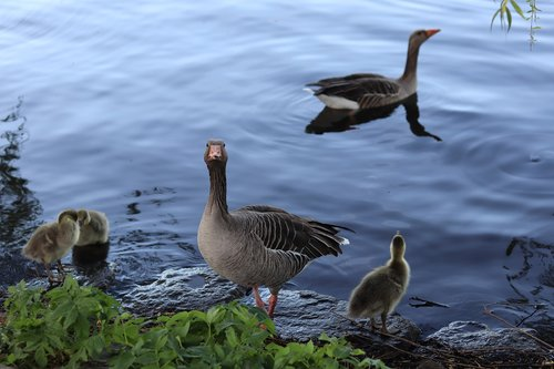 geese  gray geese  geese family