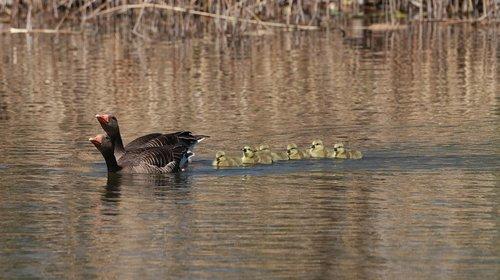 geese  chicks  spring