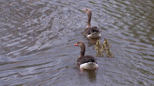 geese  chicks  nature