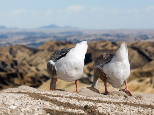 geese rump deep