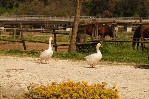 geese farm campaign