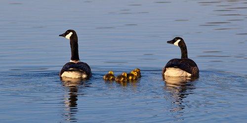 geese and goslings  geese  goslings