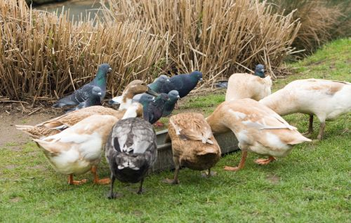 Geese & Pigeons