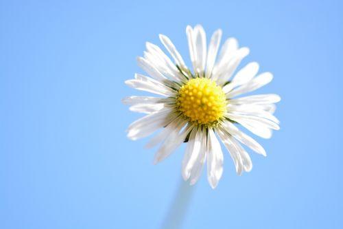 žąsų gėlė,geltona,Daisy,žiedas,žydėti,pavasaris,balta geltona,maža gėlė,aštraus gėlė,datailaufnahme,Uždaryti,makro