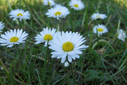 žąsų gėlė,žalias,gamta,pavasaris,žiedas,žydėti,gėlė,augalas,Daisy,aštraus gėlė,balta,gražus,pieva,flora,Uždaryti,vasara,laukinė gėlė,maža gėlė,pavasario gėlės,laukinė gėlių pieva,geltona,balta geltona