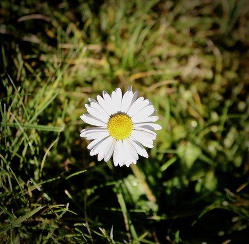 geese flower  bleed  daisy