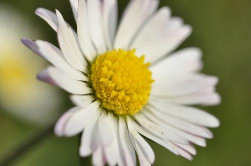 žąsų gėlė, balta gėlė, gėlė, gražus, Daisy, žiedas, žydėti, balta, Uždaryti, pieva, pavasaris, sodas, makro, augalas, gamta, ankstyvas bloomer, spalva, pavasario pranašys, flora, geltona, laukinė gėlė, balta geltona, maža gėlė, vasara, žydėti, mažas, aštraus gėlė, žalias, makro nuotrauka, laukinės gėlės, laukinės sodo augalas, datailaufnahme, švelnus, vasaros pieva, laukinis gėlių pieva