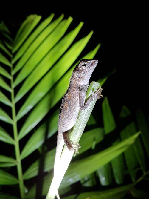 gekko lizard salamander