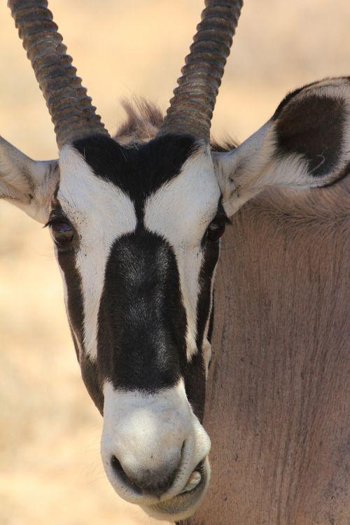 gemsbok kalahari animal