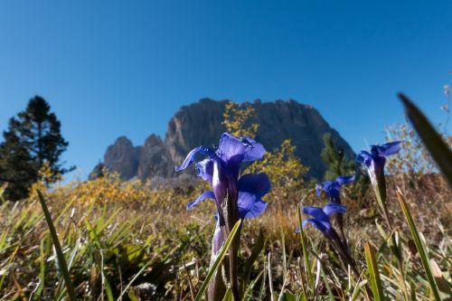 gentian gentiana alpine