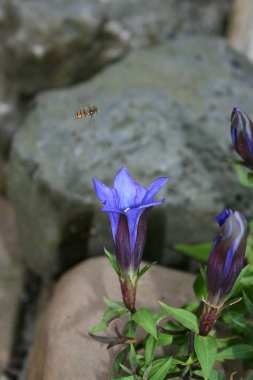 gentian perennial rock plant