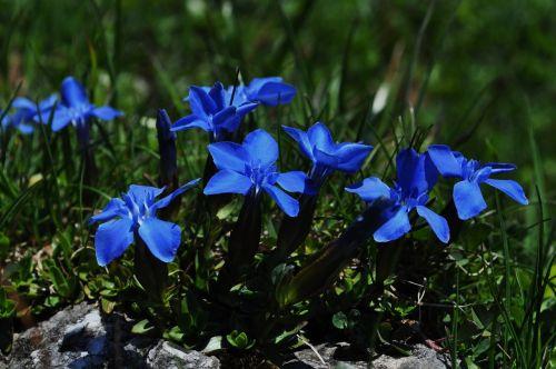 gentian,mėlynas,Uždaryti,gėlė,mėlynas gentianas,Alpių gėlė,mėlyna gėlė,kalnų gėlė,gamta,gėlės,kalnai,augalas,tikras Alpių gencijonas,Gencio augalas,vasara,laukinė gėlė,flora
