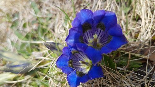 gentian blossom bloom