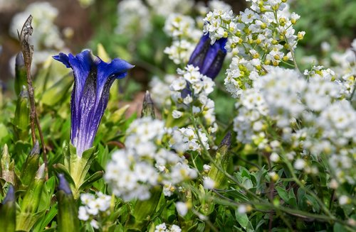 gentian  flower  blossom