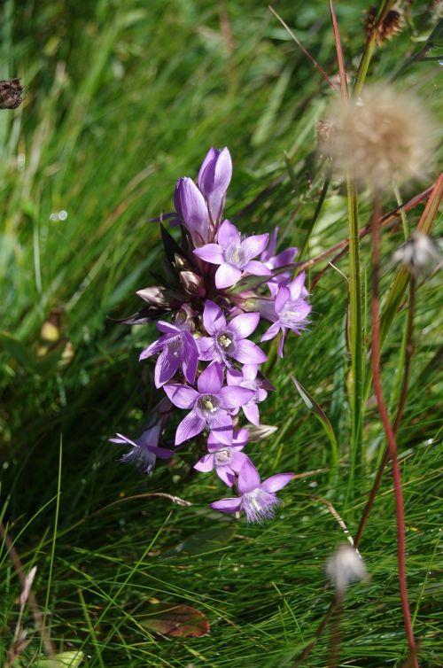 gentian violet alpine