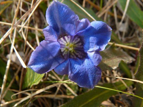gentian alpine flower mountain flower